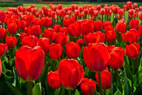 При пересадки болеют розы